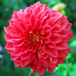 Large Red Dahlia Flower — Stock Photo