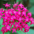 Pink pentas lanceolata Flower — Stock Photo