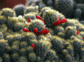 Red Cactus Flower — Stock Photo