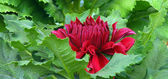 Red Dahlia Flower — Stock Photo