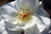 White Rose Flower — Stock Photo
