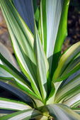 White green furcaria Succulent plant — Stock Photo