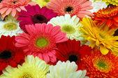 Pink yellow red gerbera daisy flowers — Stock Photo