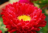 Red chrysanthemum Daisy Flower — Stock Photo