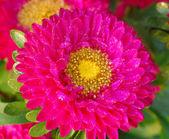 Pink chrysanthemum Daisy Flower — Stock Photo