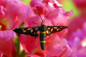 Butterfly on pink hollyhock flower — Stock Photo