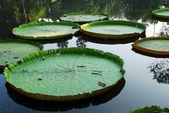 Liście lilii wodnej — Zdjęcie stockowe