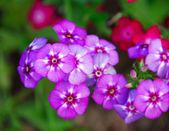 Purple vinca Periwinkle Flower — Stock Photo