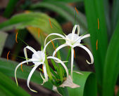 White crinum spiderlily Flower — Stock Photo