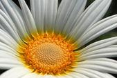 Vita prästkrage blomma — Stockfoto