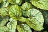 Green Leaves on ornamental plants — Stock Photo