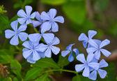 Fiore blu principessa verbena verbena — Foto Stock