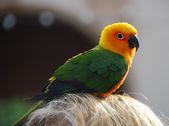 黄色緑のインコ鳥 — ストック写真