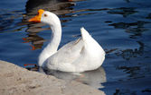 White Chinese Goose — Stock Photo