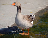 Brown Chinese Goose — Stock Photo