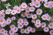 Purple pink yellow Daisy Flowers — Stock Photo