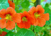 Orange Nasturtium Flower — Stock Photo