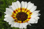 Flor de la margarita blanca chrysactinia — Foto de Stock