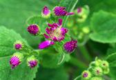 Pink chrysanthemum Flower — Stock Photo
