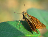 Brown Moth insect — Stock Photo