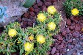 Bright yellow Succulent Flower — Stock Photo