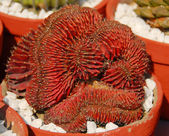 Rust red Cactus plant — Stock Photo
