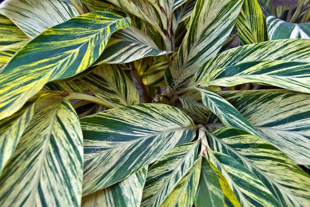 Hojas verdes en las plantas ornamentales foto de stock for Hojas ornamentales