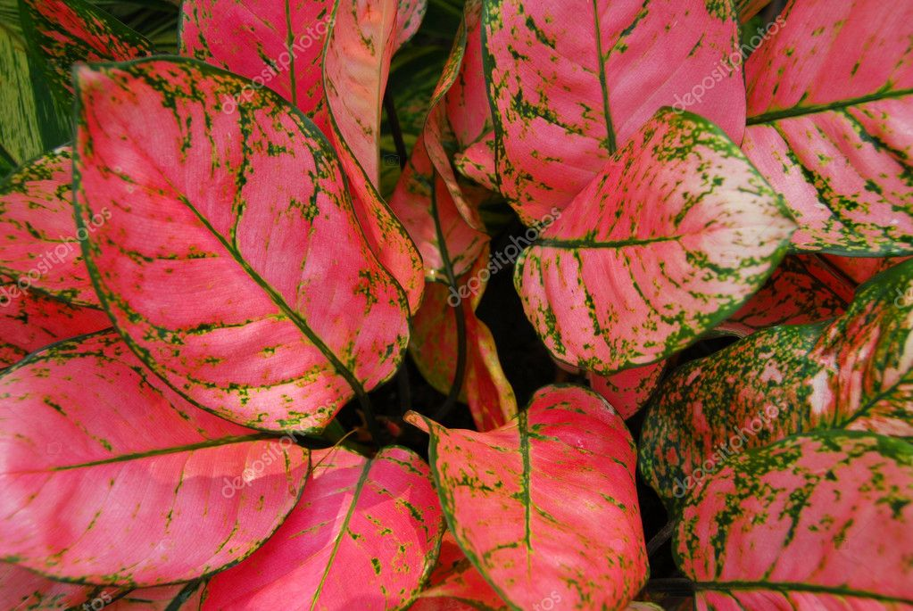 Green Pink Leaves On Ornamental Indoor Plants Stock