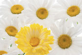 Daisy flower — Stockfoto