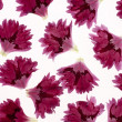 Carnation petals — Stock Photo