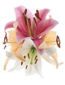 Kwiaty lilia — Zdjęcie stockowe