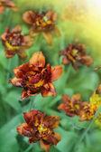 Belle tulipani rossi — Foto Stock