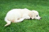 Golden retiever puppy — Стоковое фото