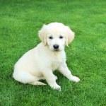 Golden retiever labrador puppy outdoors — Stock Photo #5539724