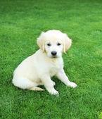 Golden retiever labrador puppy outdoors — Stock Photo