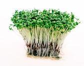 Close up of fresh green cress — Stock Photo