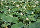 Lotus flowers blossom — Stock Photo