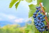 Cluster of grapes against a mountain landscape — Stock Photo