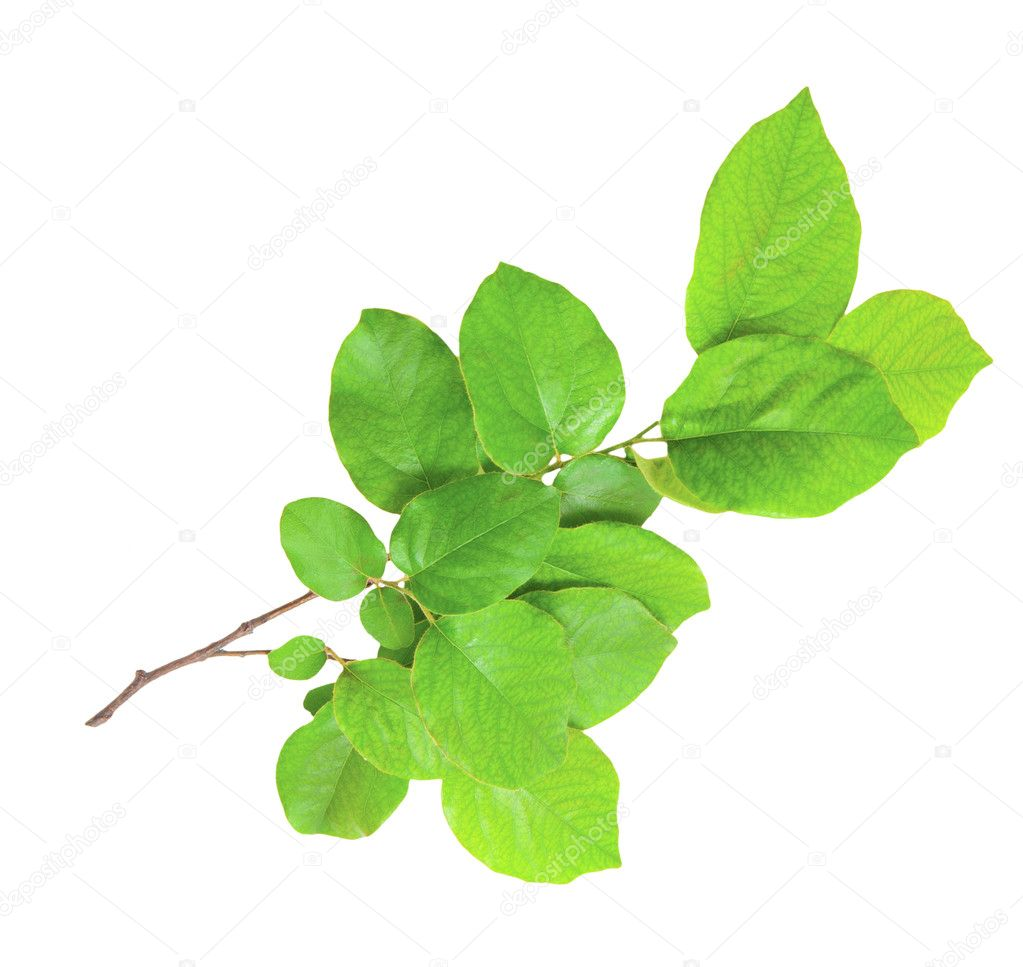 Gentle green branch isolated on a white background — Stock Photo #5794615
