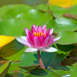 Brightly pink water lily among a pond — Stock Photo