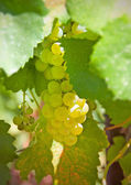 Cluster of white grapes among green leaves — Stock Photo