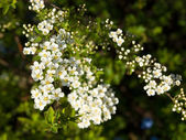 Blossoming spiraea — Stock Photo