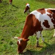 Cow on a meadow - Foto Stock
