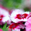 Dianthus corona cherry magic - Stock Photo