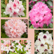 Flowers collage, rhododendron and azalea — Stock Photo