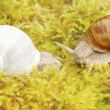 Two burgundy snails, helix pomatia, on moss — Stock Photo