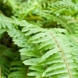 Fresh young bright green fern background - Stock Photo