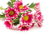 Beautiful pink chrysanthemum isolated on white — Stock Photo