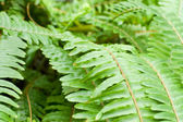 Fresh young bright green fern background — Stock Photo