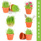 Green grass in a pot isolated — Stock Photo